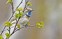 Bluethroat, Photo: Hans Falklind