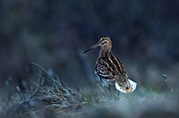 Great Snipe, Photo: Hans Falklindn