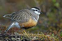 Dotterel, Photo: Hans Falklind