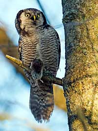 Hawk Owl, Photo: Hans Falklind