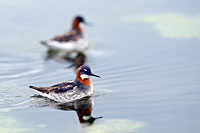 Red-necked Phalarope, Photo: Hans Falklind
