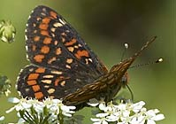 SCARCE FRITILLARY, Photo: Hans Larsson