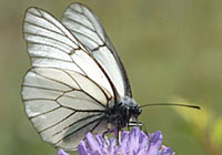 BLACK-VEINED WHITE, Photo: Bo Söderström