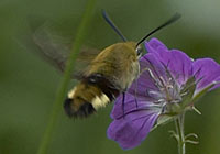 BROAD-BORDERED BEE HAWKMOTH, Photo: Hans Larsson