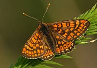 MARSH FRITILLARY, Photo: Niclas Lignell
