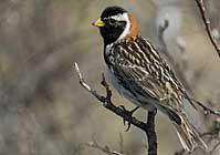 LAPLAND BUNTING Photo: Torbjörn Arvidsson