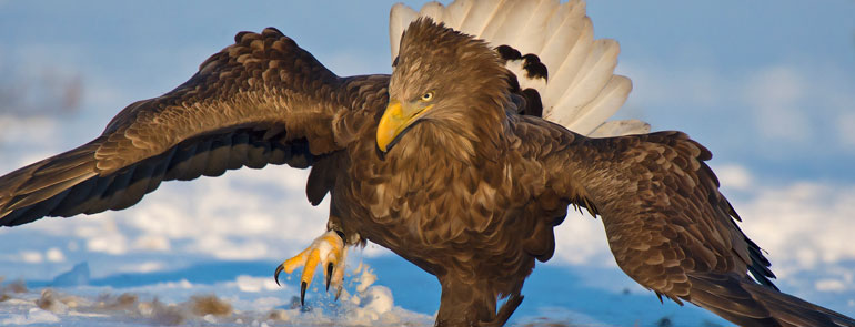 White-tailed Eagle (by Clive Finlayson)