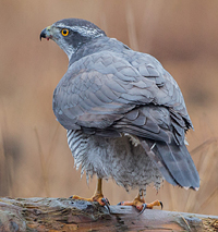 GOSHAWK, Photo: Daniel Andersson