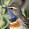 BLUETHROAT, Photo Torbjörn Arvidsson
