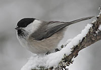 WILLOW TIT Photo: Glyn Sellors