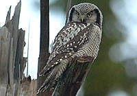 HAWK OWL, Photo: Stefan Oscarsson