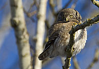 PYGMY OWL, Photo: Torbjörn Arvidsson