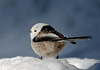LONG-TAILED TIT, Photo: Stefan Oscarsson
